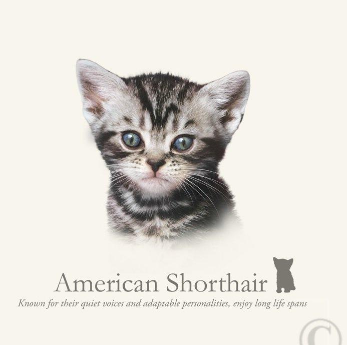 prachtig paneltje van een kat van het amerikaanse korthaar ras zwart