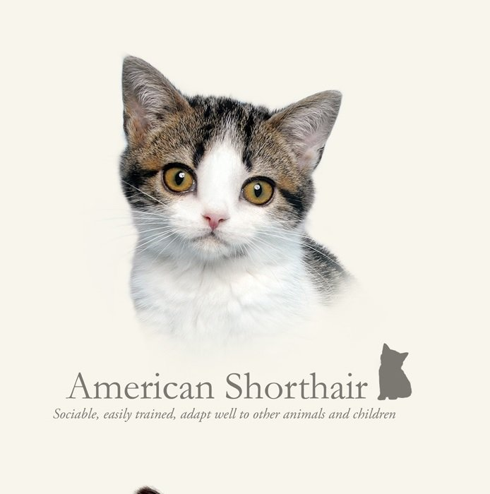 prachtig paneltje van een kat van het amerikaanse korthaar ras