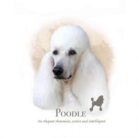 Prachtig paneltje van een hond van het Poedel ras wit zwart
