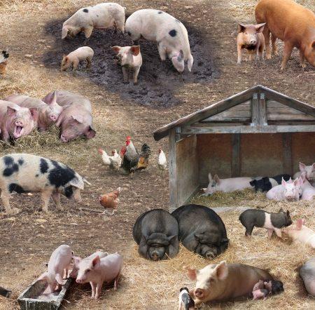 Quiltstof katoen varkens op de boerderij 338. Merk: Elizabeth's Studio