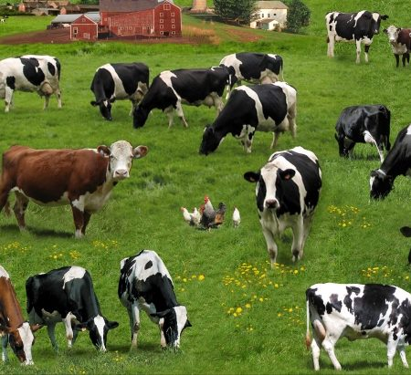 Quiltstof katoen koeien op de boerderij. Merk: Elizabeth's Studio